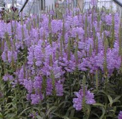 Physostegia - Plantas perennes exterior ...