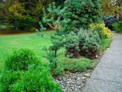 Le conifere nane perfette per i piccoli giardini for Piante da frutto nane