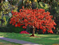 Erythrina albero corallo for Arbusti ad alberello