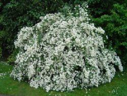 arbusti fioritura primaverile