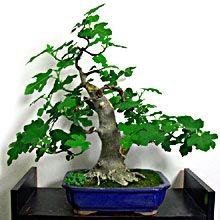 Fico bonsai minialbero dai frutti dolcissimi for Bonsai pepe