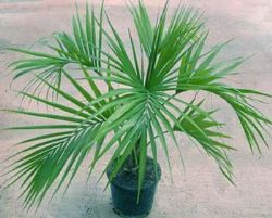 Howea kentia for Kentia pianta