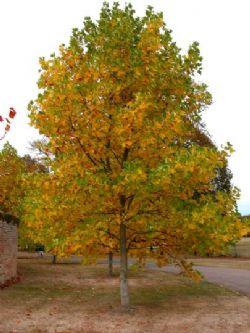 Liriodendron albero dei tulipani for Foto di alberi da colorare