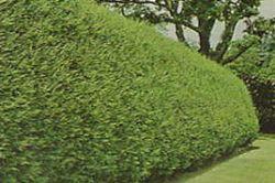 La scelta e l 39 impianto delle siepi for Siepi perenni fiorite